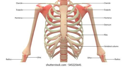 Human Skeleton Anatomy Images, Stock Photos & Vectors   Shutterstock