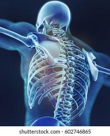 Human skeleton anatomy torso, skeletal structure, bones. 3D illustration