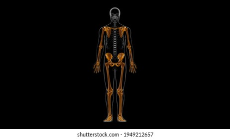Human Skeleton Appendicular Skeleton Anatomy 3D Illustration
