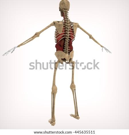 Human Skeleton Back 3 D Rendering Stock Illustration - Royalty Free ...