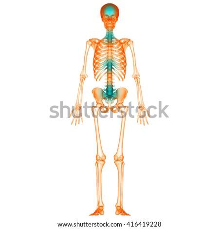 Human Skeleton Bone Joint Pains 3 D Stock Illustration 416419228 ...