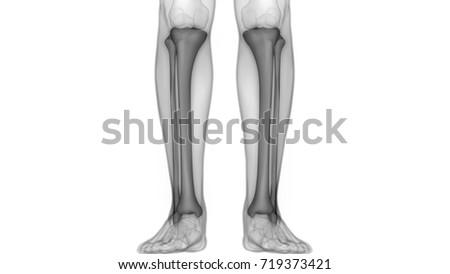 Human Skeleton Bones Anatomy Tibia Fibula Stock Illustration