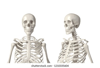 Human Skeleton Closeup isolated on a white background with clipping path. 3D Rendering