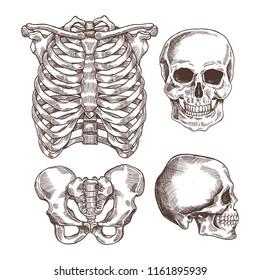Human skeleton engraved set. Rib cage, skull.