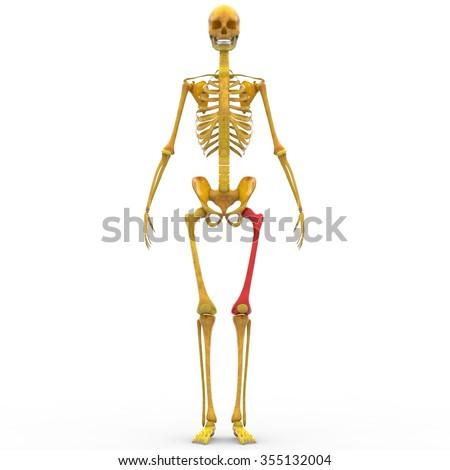 Human Skeleton Femur Thigh Bone Stock Illustration 355132004 ...