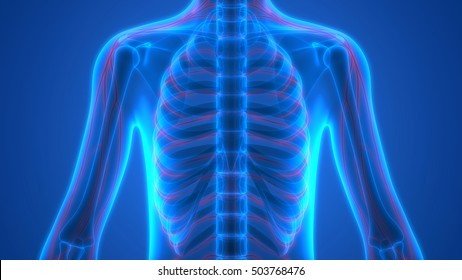 Human Skeleton with Nervous System. 3D