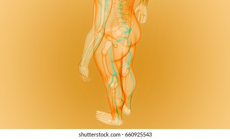 Human Skeleton with Nervous System Anatomy. 3D