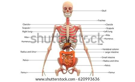 Human Skeleton Organs Anatomy 3 D Stock Illustration 620993636 ...