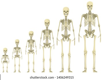 Human skeleton progressing through 6 stages of age/growth (from left to right): Baby, Toddler, Child, Juvenile, Adolescent, Adult. 3D rendering
