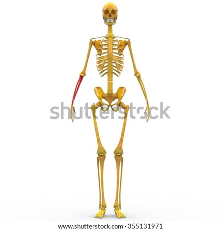 Human Skeleton Radius Ulna Bone Stock Illustration 355131971 ...