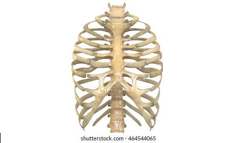 Human Skeleton Ribs with vertebral column Anatomy (Anterior view). 3D