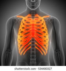 Human Skeleton Ribs with vertebral column Anatomy. 3D