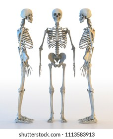 Human skeleton set isolated on white, standing, lateral and anterior projection. 3D illustration