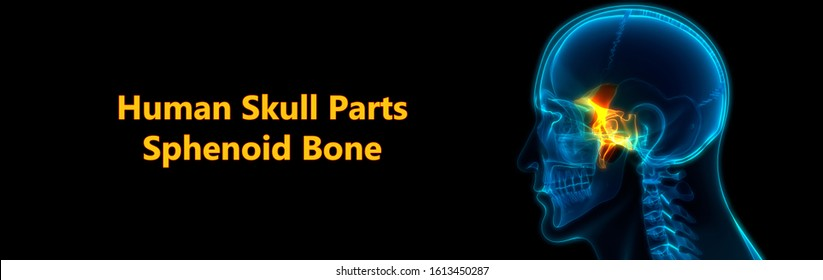 Human Skeleton Skull Parts Sphenoid Bone Anatomy. 3D