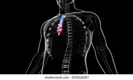 Human Skeleton Sternum Bone Anatomy For Medical Concept 3D Illustration