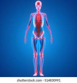 Human Skeleton System Anatomy. 3D