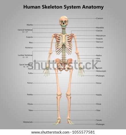 human skeleton system anatomy  3d
