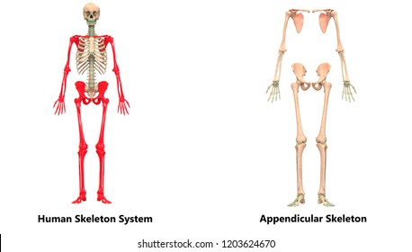 Axial Skeleton Images Stock Photos Vectors Shutterstock