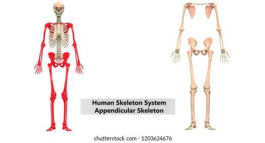 appendicular skeleton images stock photos vectors shutterstock