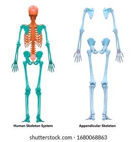 Human Skeleton System Appendicular Skeleton Anatomy Posterior View. 3D