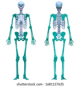 Human Skeleton System Appendicular Skeleton Anatomy. 3D