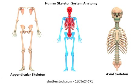Human Skeleton System Appendicular and Axial Skeleton Anatomy. 3D