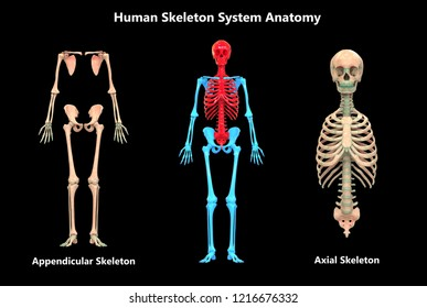 Human Skeleton System Appendicular and Axial Anatomy. 3D