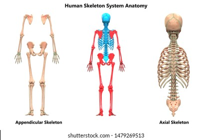 Human Skeleton System Appendicular and Axial Skeleton Anatomy Posterior View. 3D