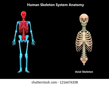 Human Skeleton System Axial Skeleton Anatomy. 3D