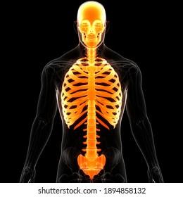 Human Skeleton System Axial Skeleton Anatomy. 3D