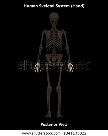 Human Skeleton System Bones Hand Anatomy Stock Illustration