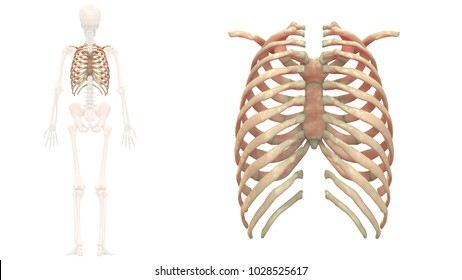 Human Skeleton System Bones ( Rib Cage) Anatomy Posterior View. 3D