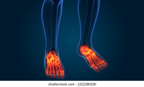 Human Skeleton System Foot Bone Joints Anatomy. 3D