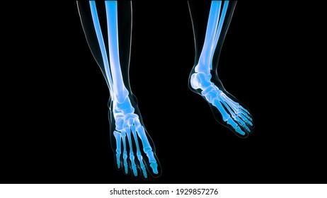 Human Skeleton System Leg Bone Joints Anatomy. 3D