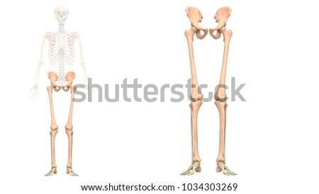 Human Skeleton System Lower Limbs Anatomy Stock Illustration