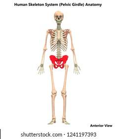 Human Skeleton System Pelvic Girdle Anatomy. 3D