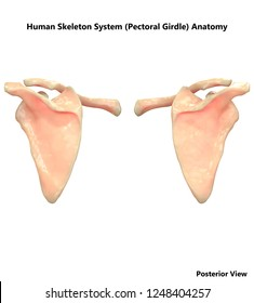 Human Skeleton System Pelvic Girdle Posterior View Anatomy. 3D