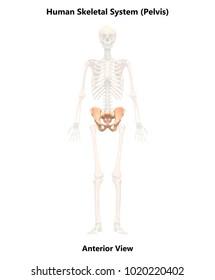 Human Skeleton System Pelvis Anatomy (Anterior View). 3D