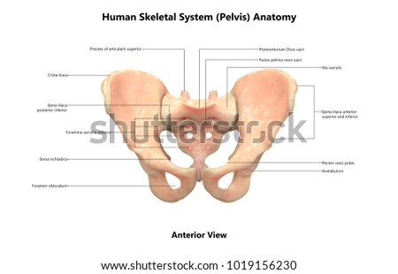 Human Skeleton System Pelvis Anatomy Anterior Stock Illustration