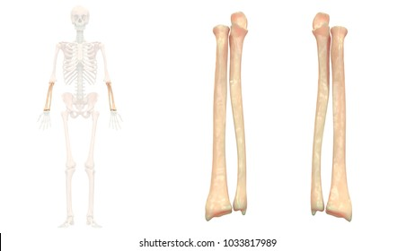 Ulna Images, Stock Photos & Vectors | Shutterstock