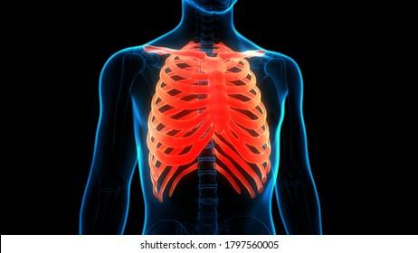 Human Skeleton System Rib Cage Bone Joints Anatomy. 3D