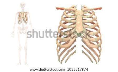 Human Skeleton System Rib Cage Anatomy Stock Illustration 1033817974
