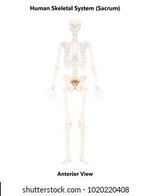 Human Skeleton System Sacrum Anatomy (Anterior View). 3D
