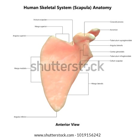 Human Skeleton System Scapula Anatomy Anterior Stock Illustration ...