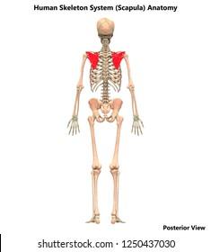 Human Skeleton System Scapula Bone Joints Posterior View Anatomy. 3D