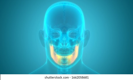 Human Skeleton System Skull Bone Parts Mandible Bone Anatomy. 3D