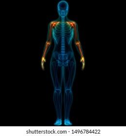 Human Skeleton System Upper Limbs Anatomy. 3D