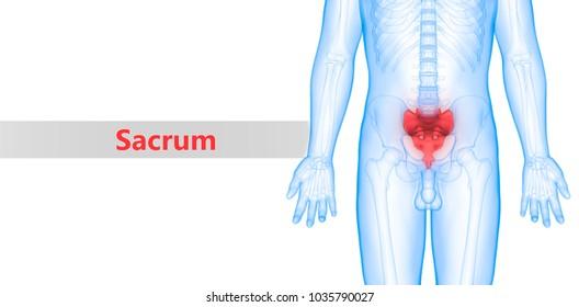Human Skeleton System Vertebral Column (Sacrum) Anatomy. 3D