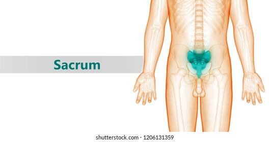 Human Skeleton System Vertebral Column Sacrum Anatomy. 3D