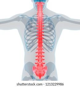 Human Skeleton System Vertebral Column Anatomy. 3D